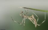 Rhomphaea nasica 1671MA_E171143.jpg