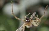 Cheiracanthium 1400FA_EM97714.jpg