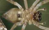 Cheiracanthium 1400FA_EM97744.jpg