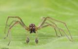 Cheiracanthium 1272MA-98363.jpg