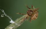 Cyrtarachne ixoides 1680Fi_E172778.jpg