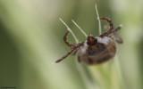 Rhipicephalus bursa_0820 EM-95932.jpg
