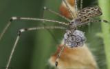 Holocnemus pluchei 0727FA_EM-93863.jpg