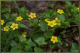 Boswederik - Lysimachia nemorum