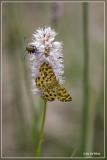 Boterbloempje - Pseudopanthera macularia