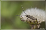 Gewone distelboktor - Agapanthia villosoviridescens