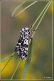 Schijnnonvlinder - Panthea coenobita