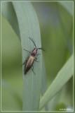 Gekamde kniptor - Ctenicera pectinicornis