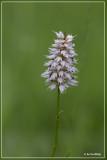 Adderwortel - Persicaria bistorta
