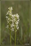 Welriekende nachtorchis - Platanthera bifolia