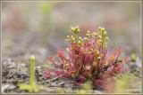 Kleine zonnedauw - Drosera intermedia