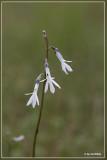 Waterlobelia - Lobelia dortmanna