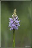 Bosorchis - Dactylorhiza maculata subsp. fuchsii