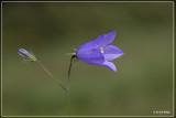 Grasklokje - Campanula rotundifolia