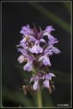veenorchis + maculata?