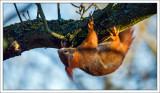 Acrobat Squirrel