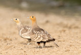 Sand Grouse, Coursers, Doves and Bustards