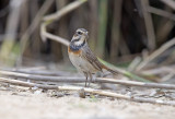 Thrushes, Wheatears and Wagtails