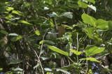 Ludher's Bushshrike