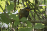 Gray-winged Robin Chat