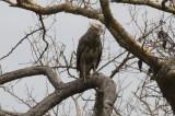 Banded Snake-Eagle
