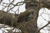 Gray Woodpecker