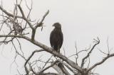Brown Snake-Eagle