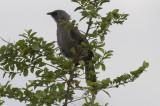 Black-lored Babbler