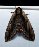 Silkworm and Sphinx Moths -  Bombycoidea