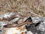 Racers and Whipsnakes