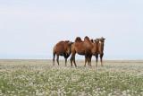Bactrian camel Camelus bactrianus dvogrba kamela_MG_54531-111.jpg