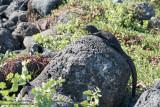 San Cristóbal - The First Marine Iguana