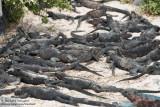 Espanola - Marine Iguanas