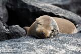 Espanola - Galápagos Sea Lion