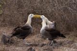 Espanola - Waved Albatrosses