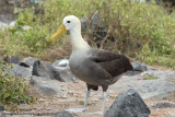 Espanola - Waved Albatross