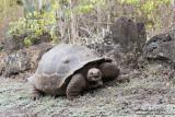 Isabela - Galápagos Giant Turtoise In The Wild