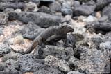 Santa Cruz,Tortuga Bay - Marine Iguana