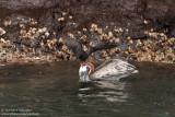 Leon Dormido - Lava Gull And Brown Pelican