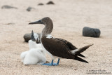 Seymour - Blue-Footed Booby With Chick