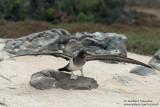Seymour - Juvenile Blue-Footed Booby