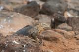 Seymour - Land Iguana
