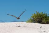 Santa Cruz- Brown Pelican