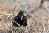 Seymour - Male Frigatebird