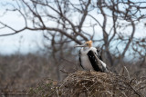Seymour - Juvenile Frigatebird