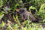 Santa Cruz - Short-eared Owl