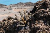 Bartolomé - Lava Cactus