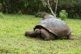 Wild Galápagos Giant Turtoise On Farmland