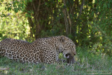 Day 2: Leopard Eating A Young Warthog