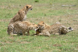Day 3: Cheetahs With Their Prey